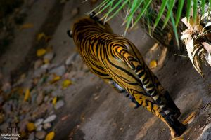 Tigre by LCPhotography