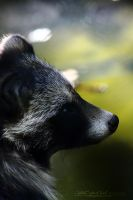 Racoon dog in the Light by WhiteSpiritWolf