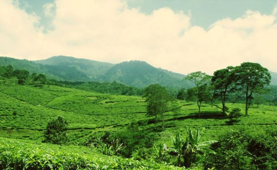 To The Hills of Tea by BasaBasiBusuk