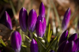 Crocuses 2 by toshema