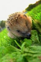 lil Igel by MarlenaLphotography