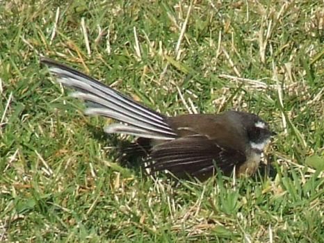 OMG its a FANTAIL by PerlinoQHLova