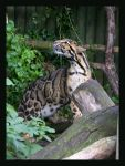 Clouded Leopard by Hozzell