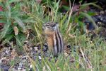 Mt. Evans Chipmunk by Kiloueka