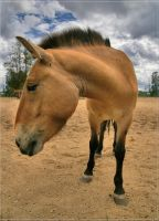 Dynamic Przewalski close up by Triumfa