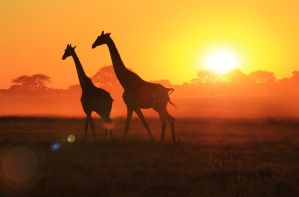 Giraffe - African Wildlife - Sunset Flare by LivingWild