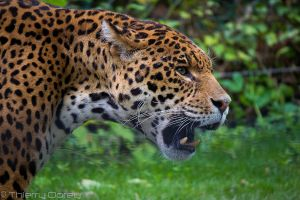 Jaguar by Talos-X