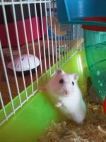 Hamster by stardust12345