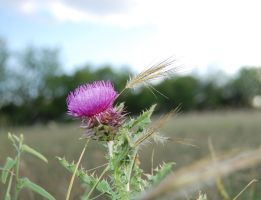Wild thistle by Darkside0326