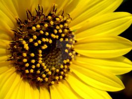 Heart Of Sunflower by acetyl-choline