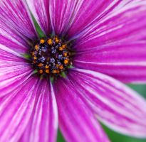 Purple Daisy by Mark-Allison