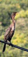Cormorant by lenslady