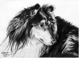 Dog Commission: 3 Collie by jucyjesy82