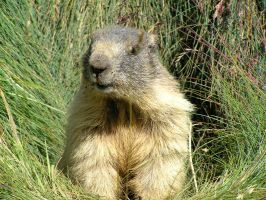 Simply a marmot by edelweiss26