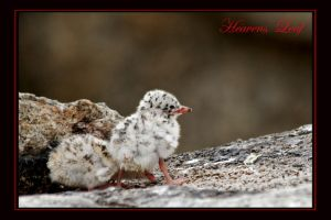 Terns 4 by Heavens-Leaf