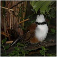 White-crested Laughing Thrush by In-the-picture