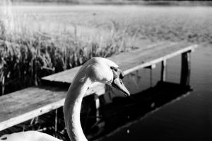 swan by InjectedSmiles