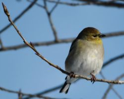American Goldfinch in Winter by papatheo