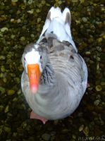 goose by ninas-photography