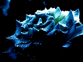 Blue Rose by fukm