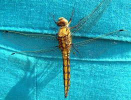 Sneaky dragonfly by kairra