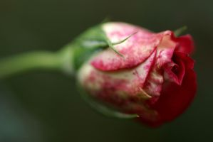 Closeup of pretty rose by a6-k