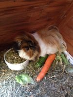 my new little guinea pig by angel-brittony-adams