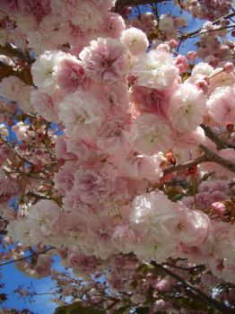 Cherry Blossoms by Queen-of-Carthage