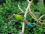 Great Green Macaw by Cobalt-Flame