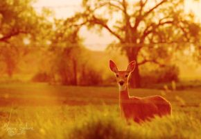 Sundown Whitetail Deer by ElaineSelene