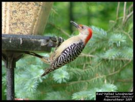 Red-bellied Woodpecker by Aideon