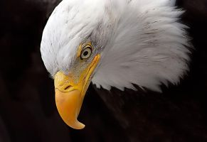 American Eagle by prologic77