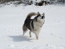 Stock 511: snow husky by AlzirrSwanheartStock