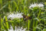 Silver Spotted Skipper by Sam-Finch