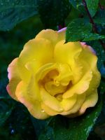 lovely yellow rose by MFDonovan