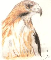 Red Tailed Hawk by Jophish126