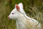 One White Wallaby by JakeSpain