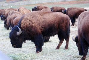 Bison Herd by dollieflesh-stock