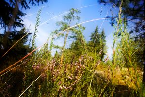 summer forest landscape with heather by paracats