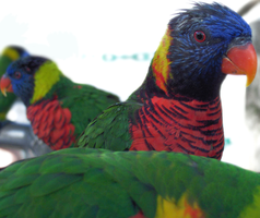Rainbow Lorikeets by PeacefulSeraph