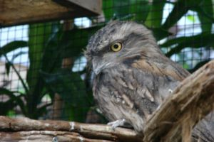 Tawny Frogmouth by Lot1rthylacine
