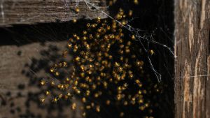 Baby spiders by Wadyface