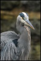 Great Blue Heron by HarbingerPhotography