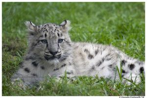 Baby Snow Leopard IV by TVD-Photography