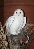 Zoo Montana 2 Owl by Falln-Stock