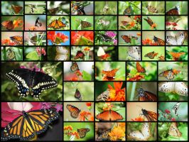 50 Butterflies by OrphieG