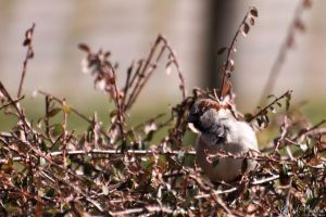 Fluffy Passer Domesticus by Nawamane