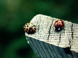 Ladybugs? by ONLY-MAYHEM