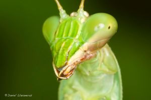 Mantis closeup by dllavaneras