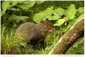 Azara Agouti by In-the-picture